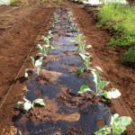有機無農薬農業を実践セリ!